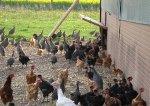 Poulets en basse cour.