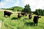 Vaches (troupeau).