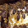 abeilles-neonicotinoides