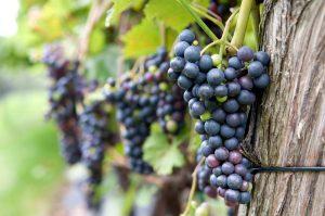 Quel type de vin voulez-vous produire?